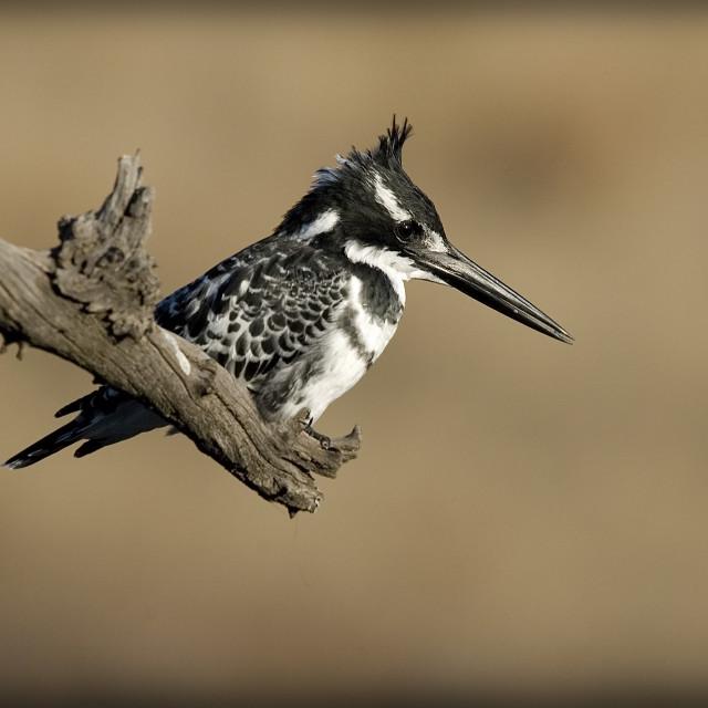 """DSC_2860- Pied Kingfisher"" stock image"