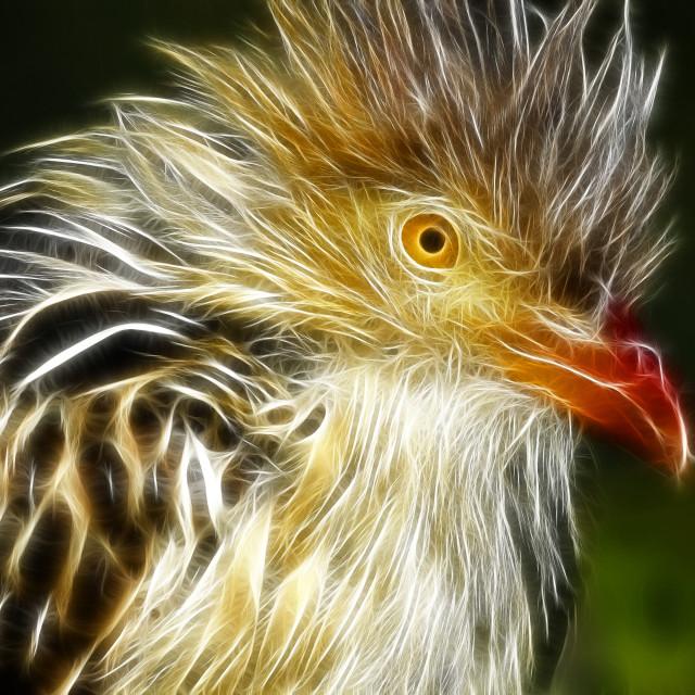 """DSC_3210- Guira Cuckoo"" stock image"