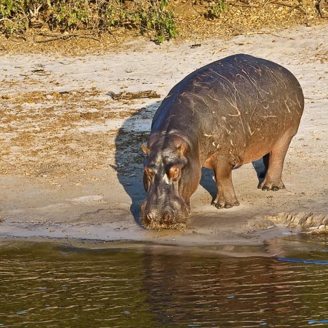 """DSC_8930- Hippo"" stock image"