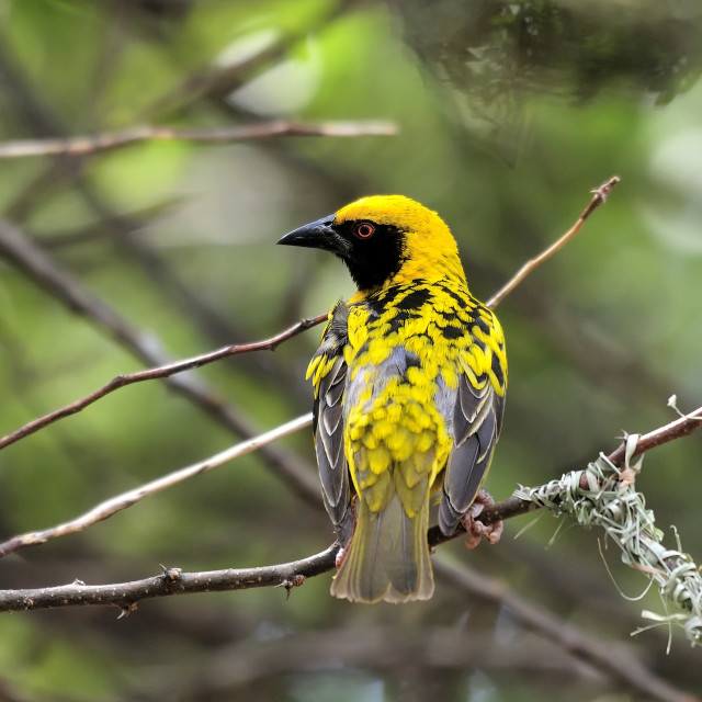 """WCC_6774- Southern-masked Weaver"" stock image"
