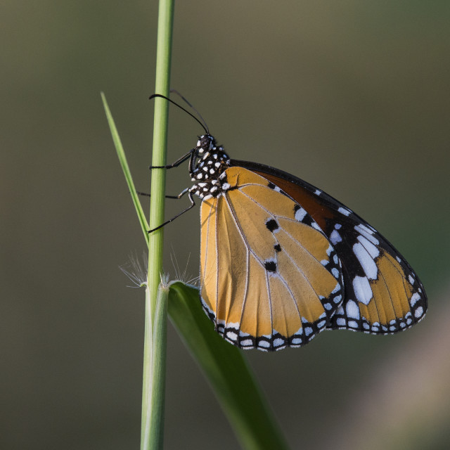 """Plain Tiger Butterfly Resting"" stock image"
