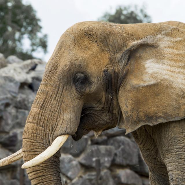 """Elephant Pondering"" stock image"