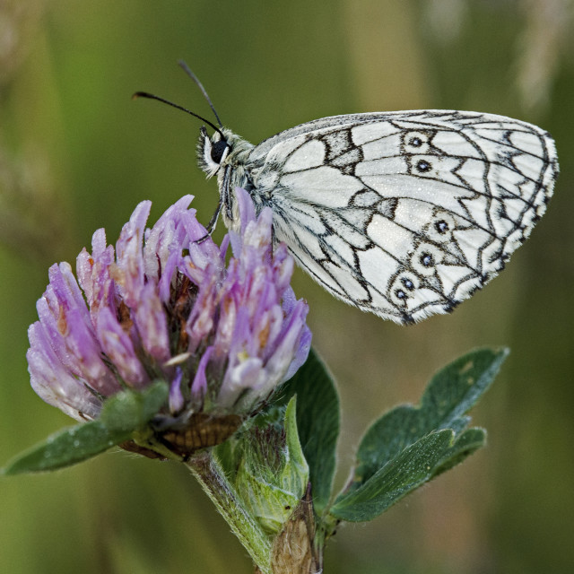 """Early Morning Marble White Butterfly"" stock image"