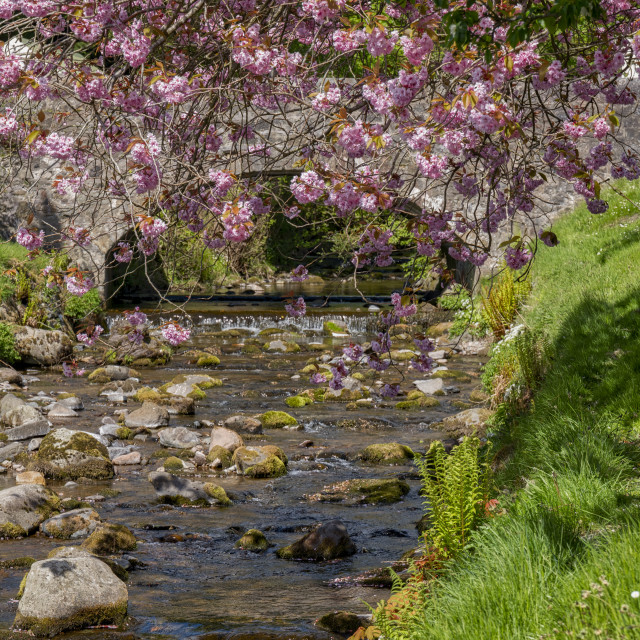 """Cherry Blossoms at Dollar Burn"" stock image"