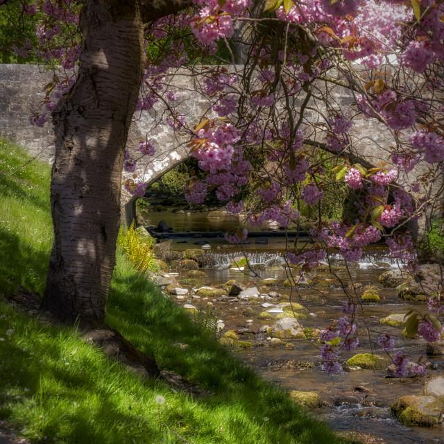 """Cherry Blossoms at Dollar Burn"" stock image"