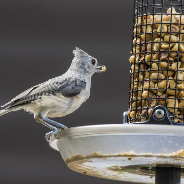 """Tufted Titmouse"" stock image"