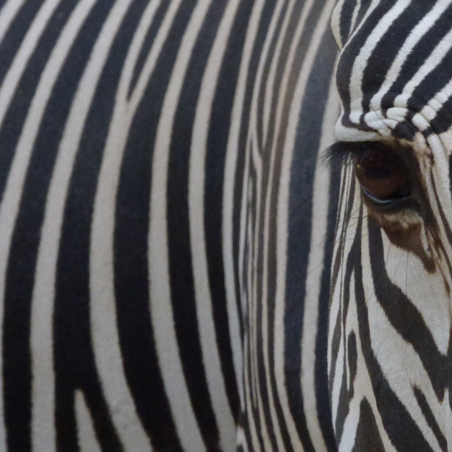 """The striped Zebra Close up"" stock image"