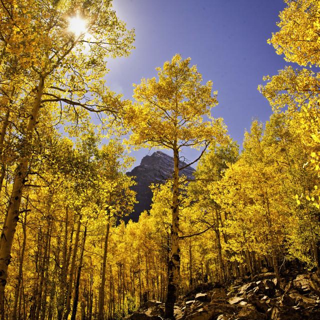 """""""Golden Aspen in the Famed Maroon Bells"""" stock image"""