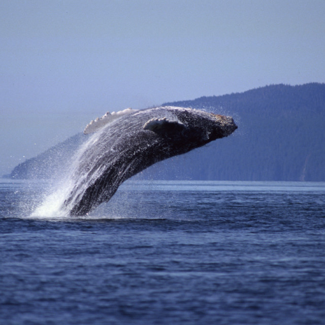 """Breaching Humpback Whale, Alaska"" stock image"