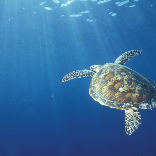 """""""Green sea turtle"""" stock image"""