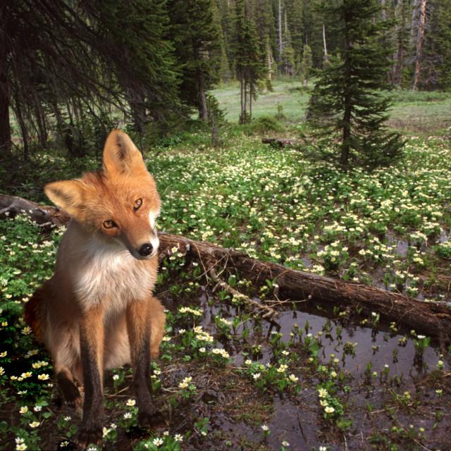 """Red Fox, Katmai, Alaska"" stock image"