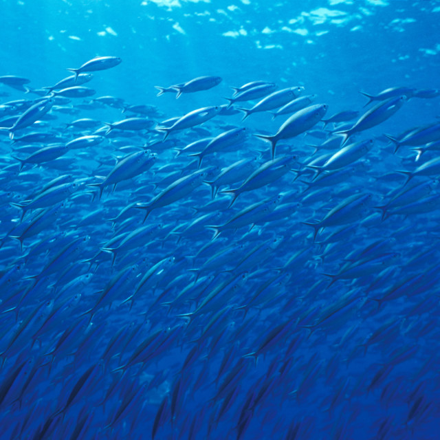 """""""schooling fish in blue sea"""" stock image"""