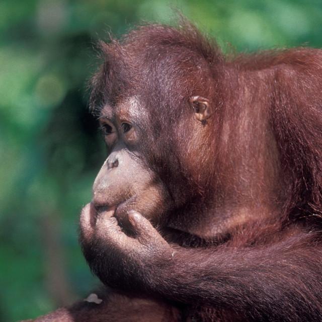"""Young orangutan Sipalok wildlife preserve, Borneo"" stock image"