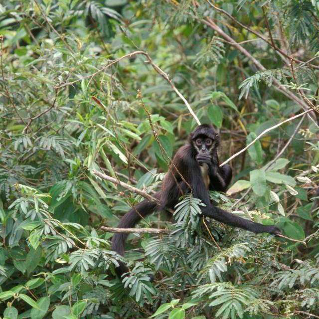 """""""Spider monkey, Belize"""" stock image"""