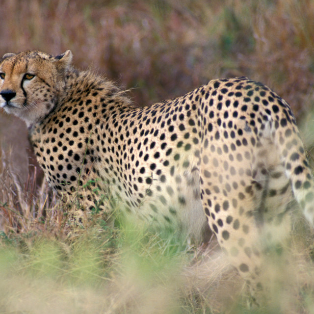"""Cheetah in grass, Kenya, Africa"" stock image"