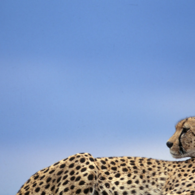 """Cheetah profile"" stock image"