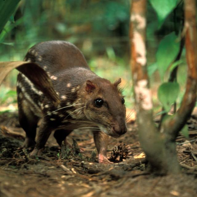 """Aguoti Paca (The Royal Rat).Belize"" stock image"