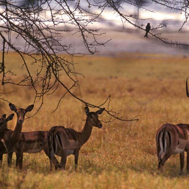 """Antelope herd, Kenya, Africa"" stock image"