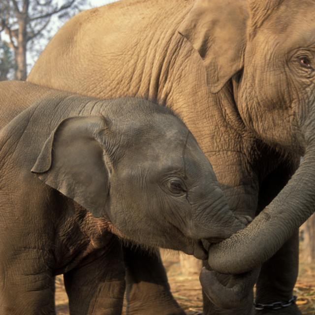 """""""Asian Elephants-Mother and baby"""" stock image"""