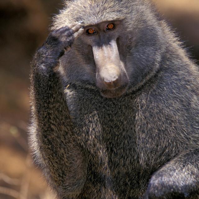 """""""Baboon salute, Kenya Africa"""" stock image"""