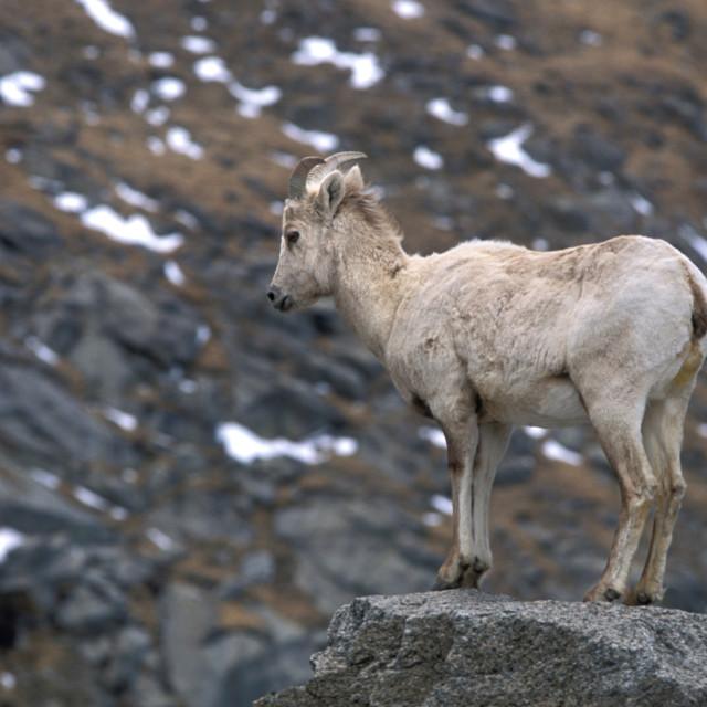 """Big horn sheep baby--69235"" stock image"