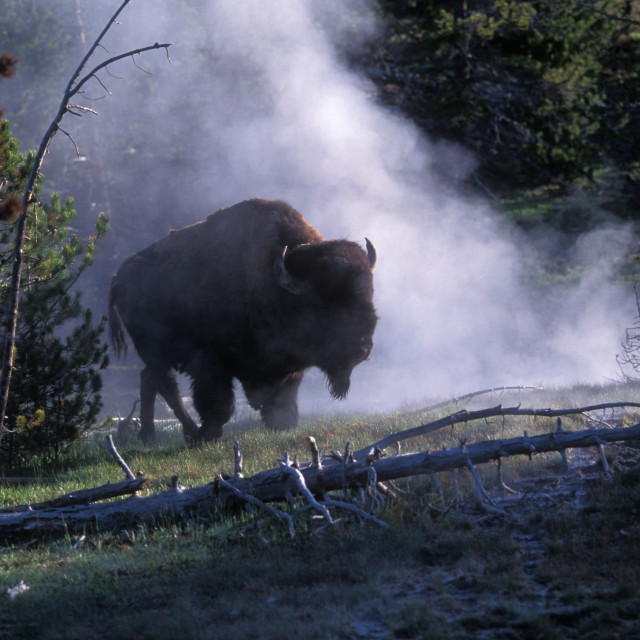 """""""Bison and Steam from Hot springs, yellowstone Nationat Park, Wyoming USA"""" stock image"""