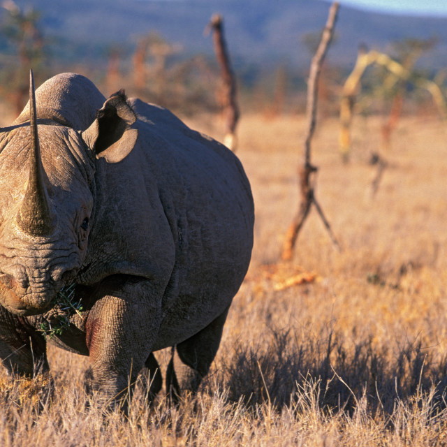 """Black Rhino, Africa"" stock image"