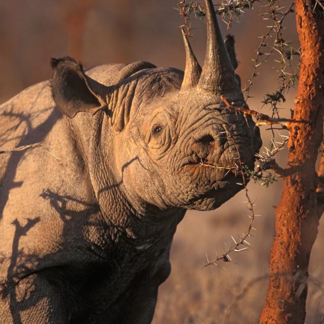 """Black Rhinocerous (endangered) Kenya, Africa"" stock image"