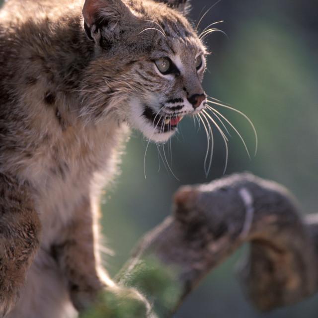 """Bobcat-1351.jpg"" stock image"