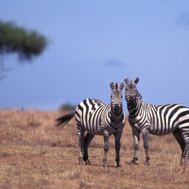 """Burchell's Zebras"" stock image"