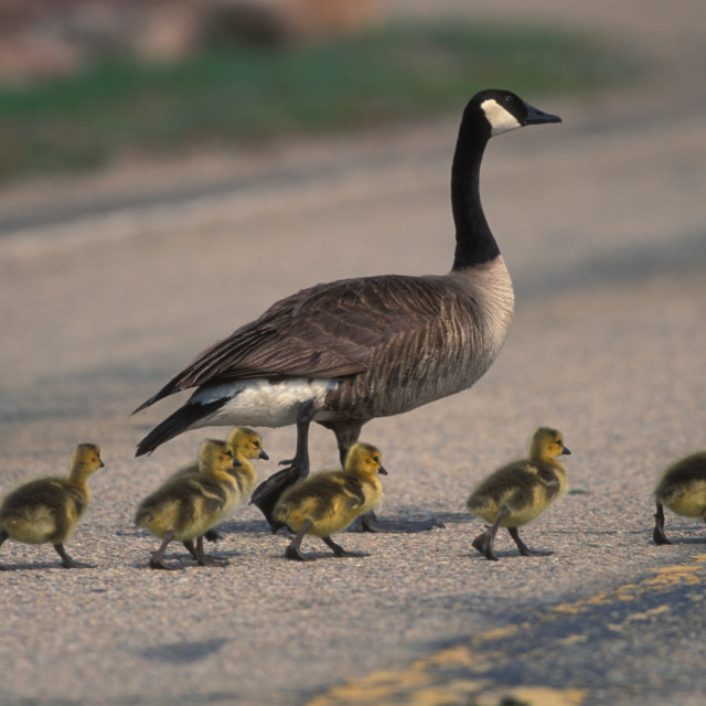 """""""Canadian Geese"""" stock image"""