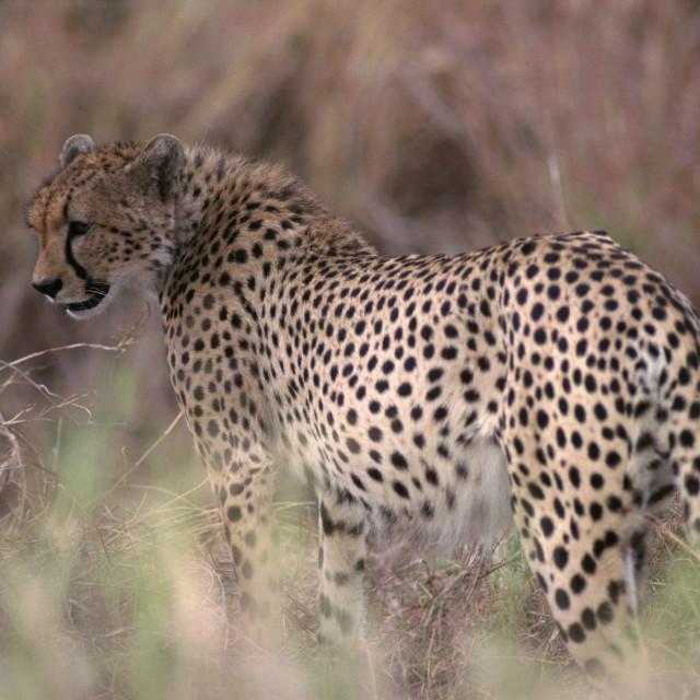 """Cheetah in grass"" stock image"