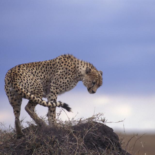 """""""Cheetah on termite mound"""" stock image"""