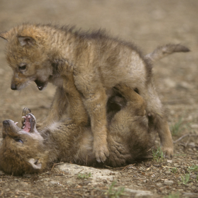 """""""Coyote Pups"""" stock image"""