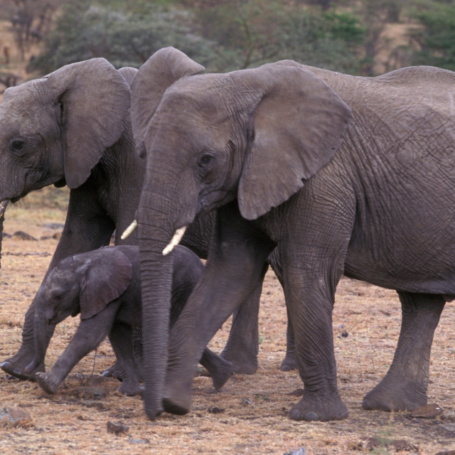 """""""Elephant family, Mother baby and sister"""" stock image"""