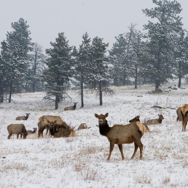"""""""Elk Herd"""" stock image"""