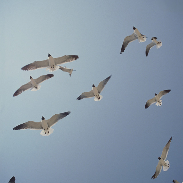 """Flying Sea Gulls"" stock image"