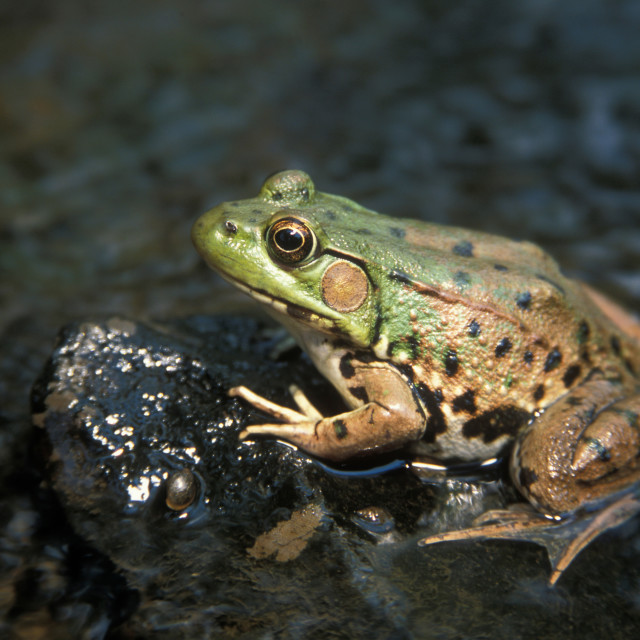 """Leopard frog"" stock image"