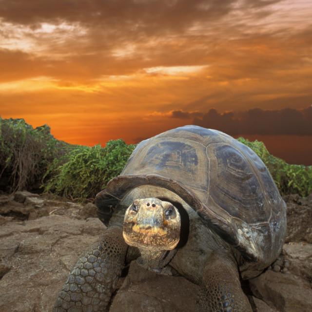 """Galapagoes Tortoise"" stock image"