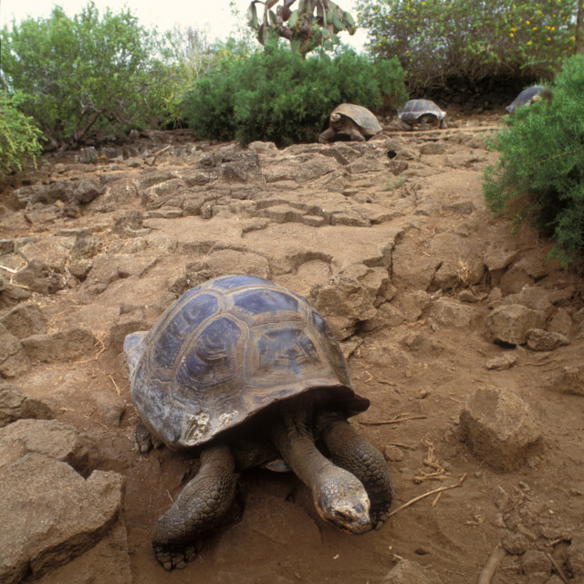 """Galapagos Tortoise"" stock image"