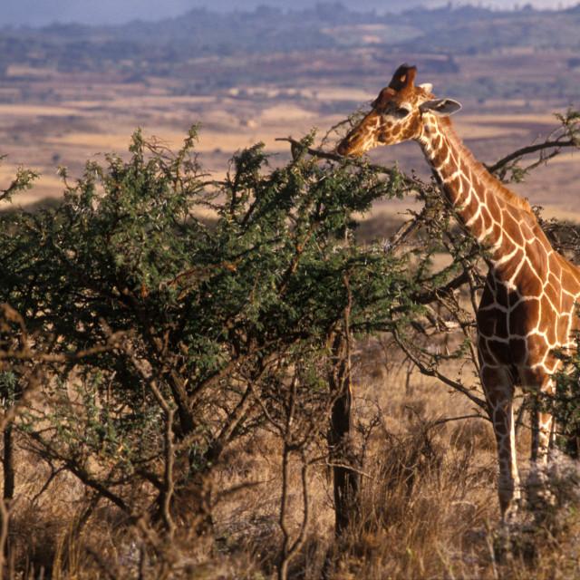 """Giraffe feeding, Kenya"" stock image"