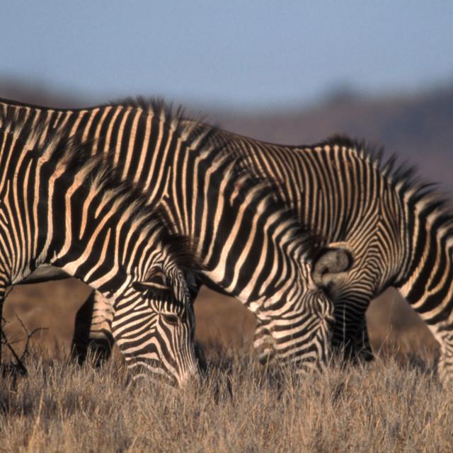 """""""Grevy's Zebras"""" stock image"""