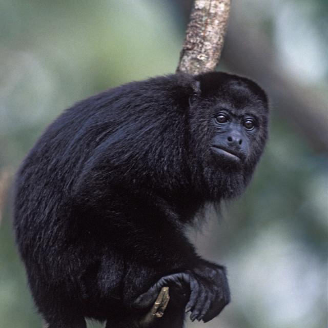 """Howler Monkey"" stock image"
