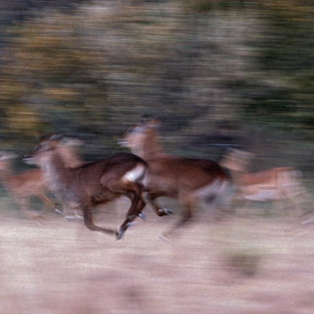 """""""Impalas running, Kenya, Africa"""" stock image"""