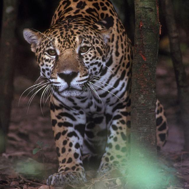 """Jaguar"" stock image"