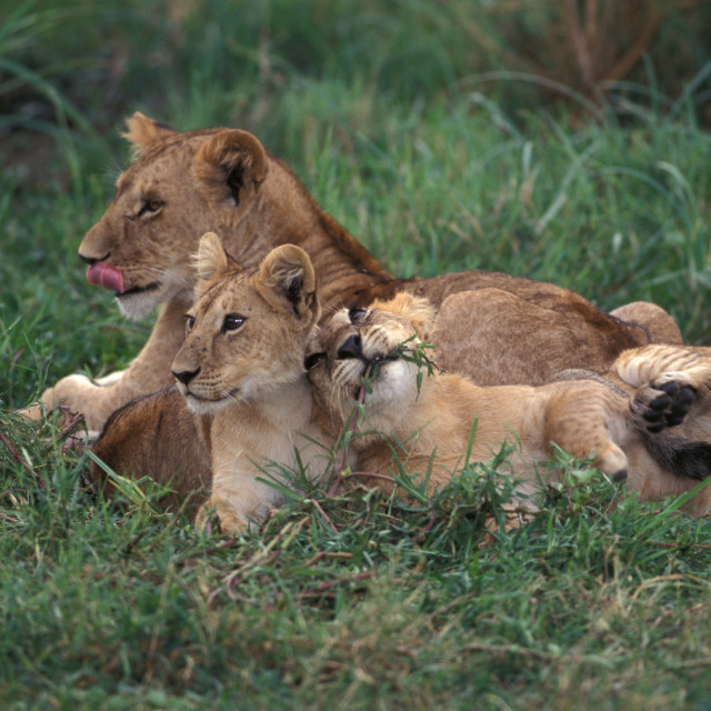 """""""Lion mother & cubs"""" stock image"""