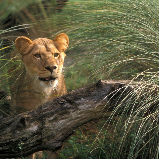 """Lioness-58585"" stock image"