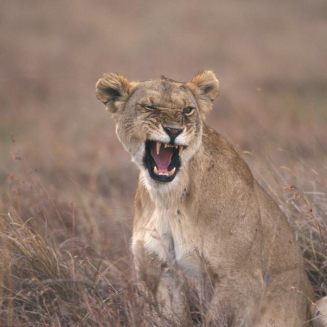 """""""Lioness yawning, Kenya, Africa"""" stock image"""