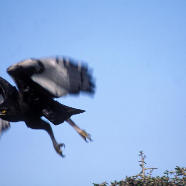 """""""Marshall Eagle, Kenya, Africa"""" stock image"""