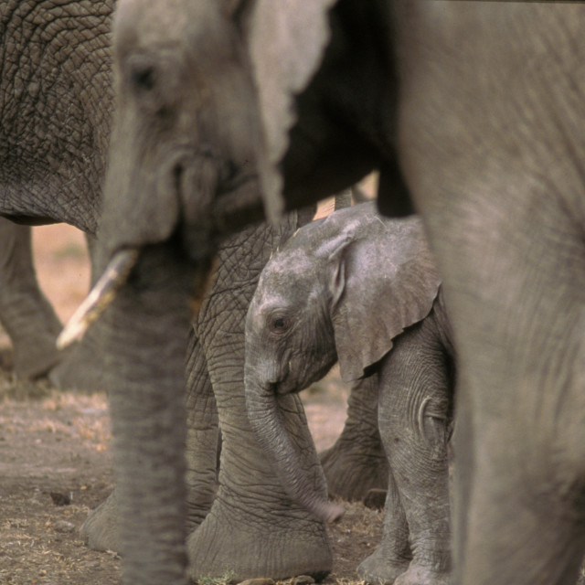 """Mother and baby elephant, Kenya"" stock image"
